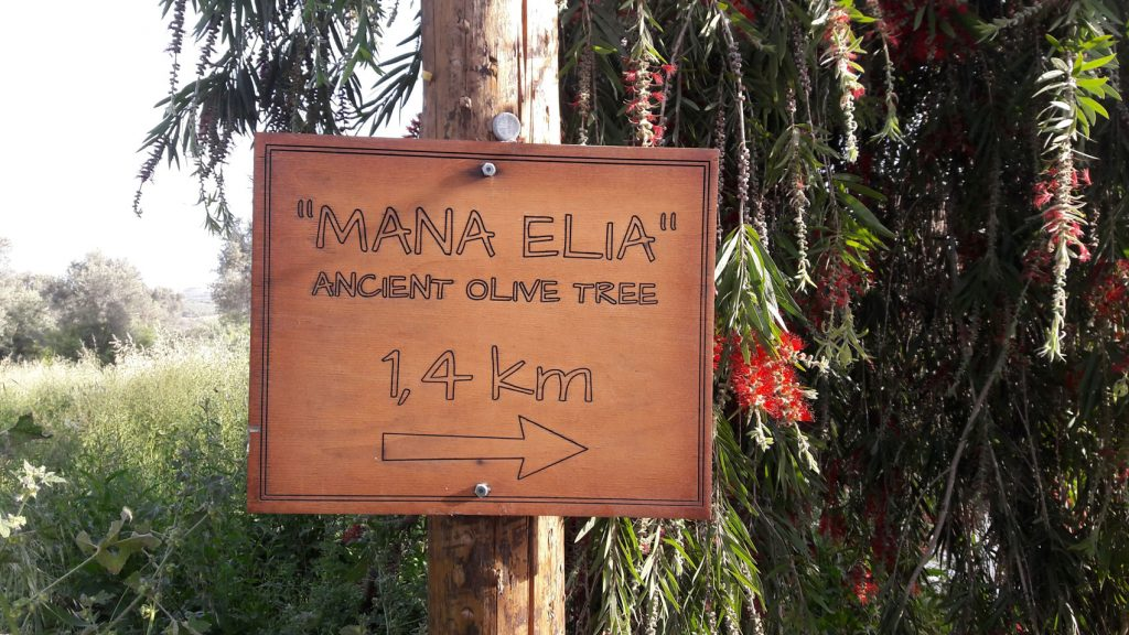 Walk to Mother Olive Tree