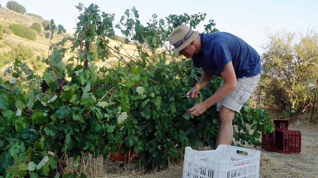 Wine harvest Magarikari
